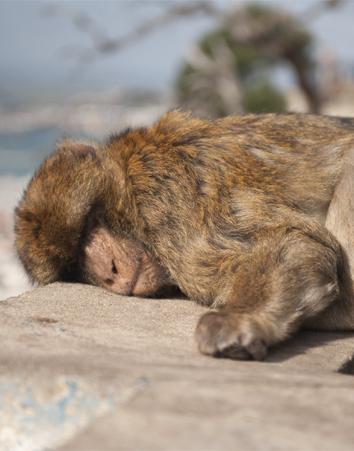El mono capuchino es uno de los animales más comercializados