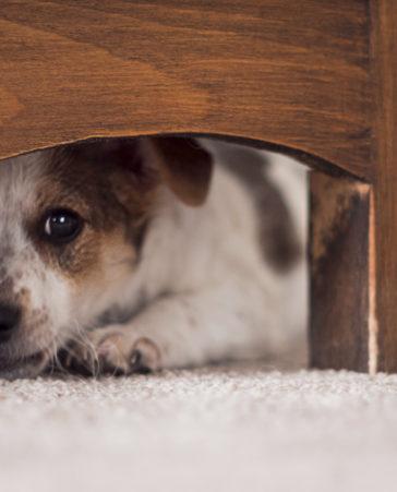¡Firma para la prohibición de petardos por nuestras mascotas!