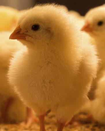 Firma para acabar con el sacrificio de los pollitos ponedores
