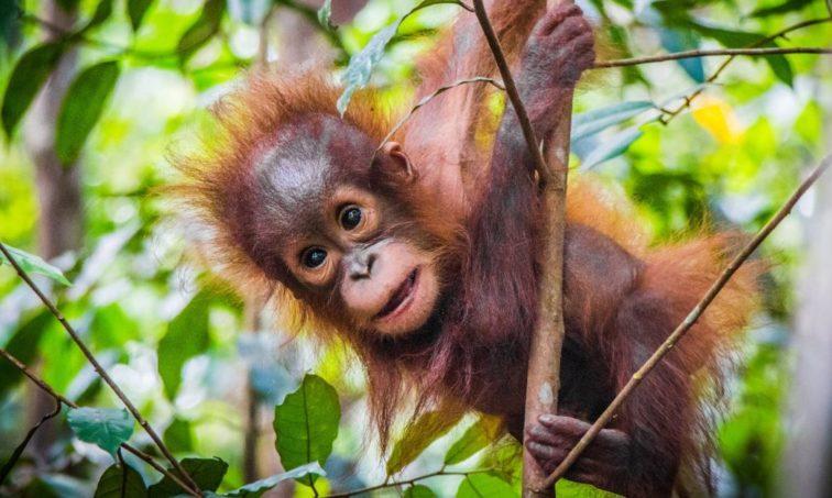 Los orangutanes de Borneo se encuentran en peligro de extinción (Istock)